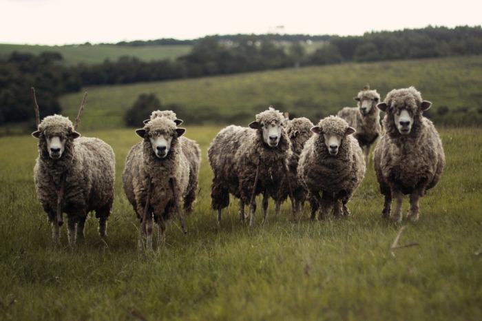 sheep-690371_960_720